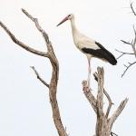 Foxy_Fox_Madikwe_Stork