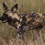 Foxy_Fox_Madikwe_WildDog_1