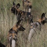 Foxy_Fox_Madikwe_WildDog_3