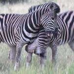 Foxy_Fox_Madikwe_Zebras