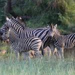 Foxy_Fox_Madikwe_Zebras_1
