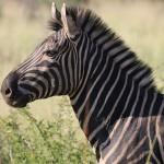 Foxy_Fox_Madikwe_Zebras_2