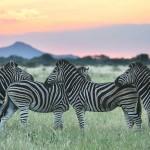 Foxy_Fox_Madikwe_Zebras_4
