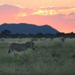 Foxy_Fox_Madikwe_Zebras_5