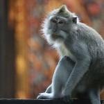 Foxy_Fox_Bali_Monkey