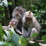 Foxy_Fox_Bali_Monkey2