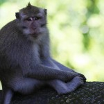 Foxy_Fox_Bali_Ubud_Mokey2