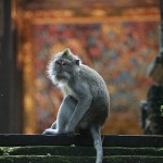 Foxy_Fox_Bali_Ubud_Monkey3