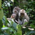 Foxy_Fox_Bali_Ubud_Monkeyfamily