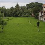 Foxy_Fox_Bali_Ubud_RiceField