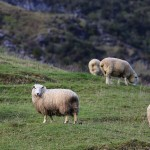 Foxy_Fox_NewZealand_North_Sheep