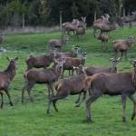 Foxy_Fox_NewZealand_South_Deer