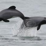 Foxy_Fox_NewZealand_South_Dolphin