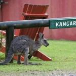 Foxy_Fox_Sydney_Kangaroo3