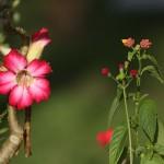 Foxy_Fox_Tahiti_Flowers
