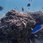 Foxy_Fox_Tahiti_Tropical_fish